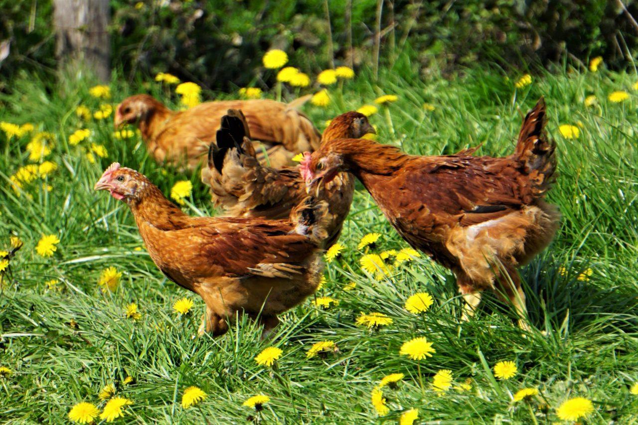 Gastronome propose de la volaille bio